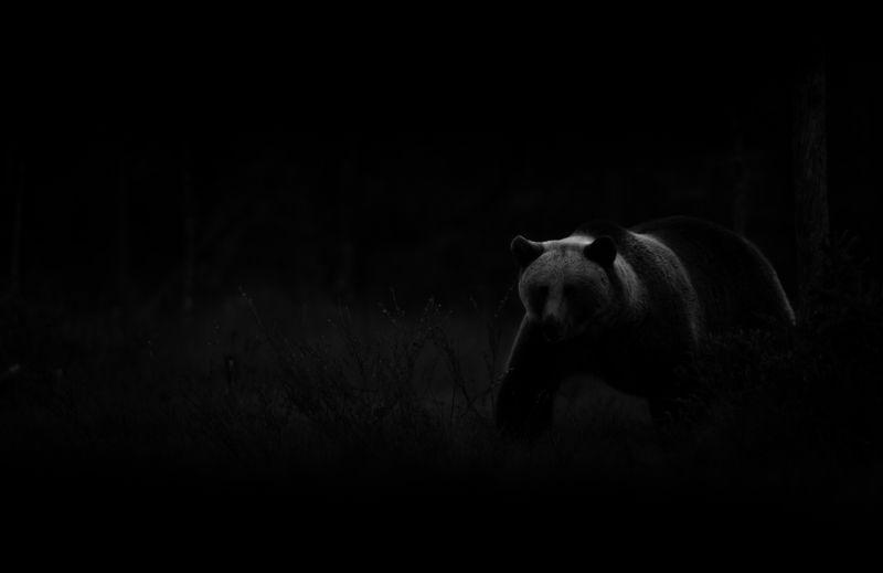 Bear, Finland Bear, Finland фото превью