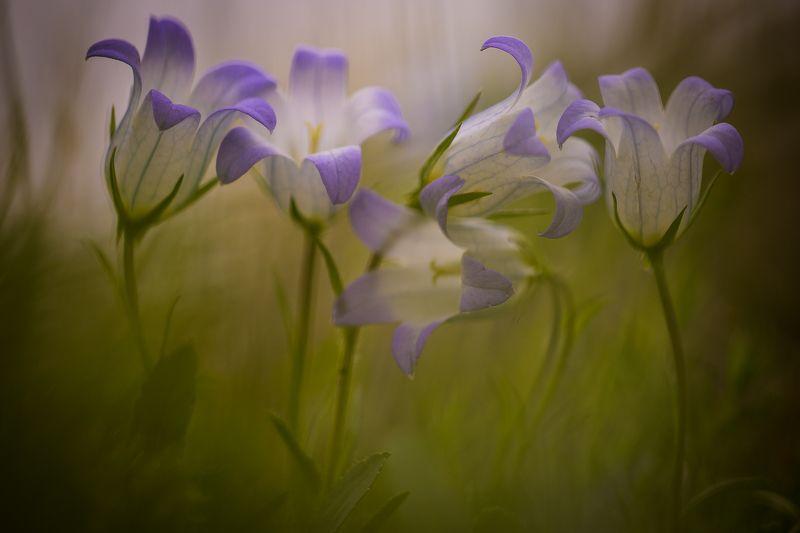 макро, Калмыкия, тюльпан, Маныч, весна Впятеромphoto preview