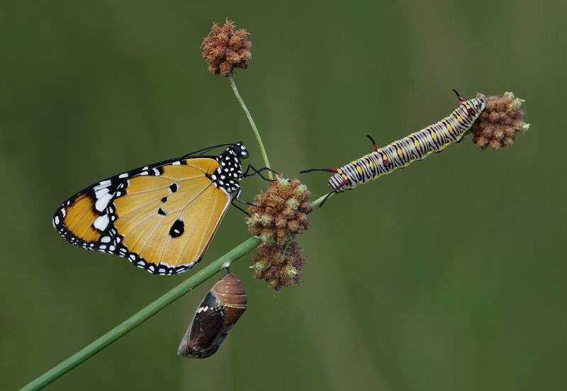nature, animal, macro, butterfly, pupae, caterpillar, african monarch-plain,african queen, life cycle. Life cyclephoto preview