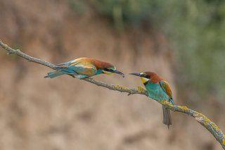 European Bee-eaters' (Merops apiaster) courtship