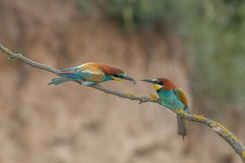 european bee-eater, birds, birder\'s corner, merops apiaster European Bee-eaters\' (Merops apiaster) courtshipphoto preview