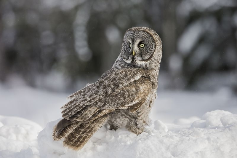 Chouette lapone / great gray owl / strx nebulosaphoto preview
