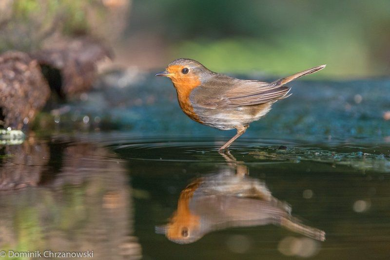 European Robin, Erithacus rubecula, Rudzik, ptaki, birds, Dominik Chrzanowski photography, Birder\'s Corner European Robin (Erithacus rubecula)photo preview