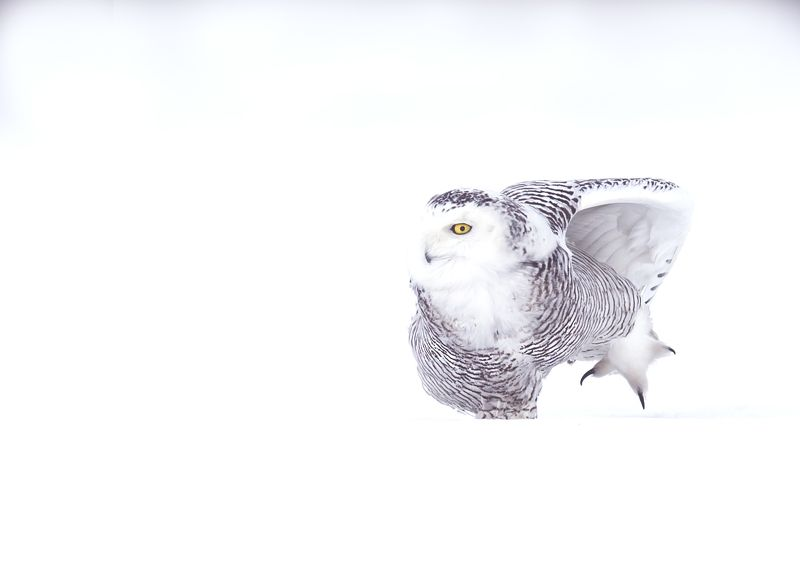 Harfang des Neiges / Snowy Owl / Bubo scandiacusphoto preview