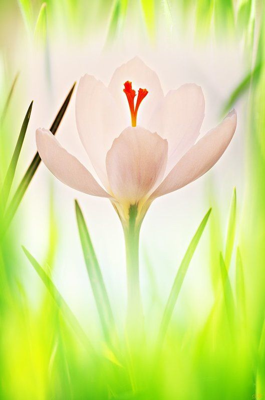 close-up, color, colors, color image, crocus, flower, flowers, green, image, key, macro, nature, plant, plants, photography, spring, springtime, white, Crocus in High Keyphoto preview