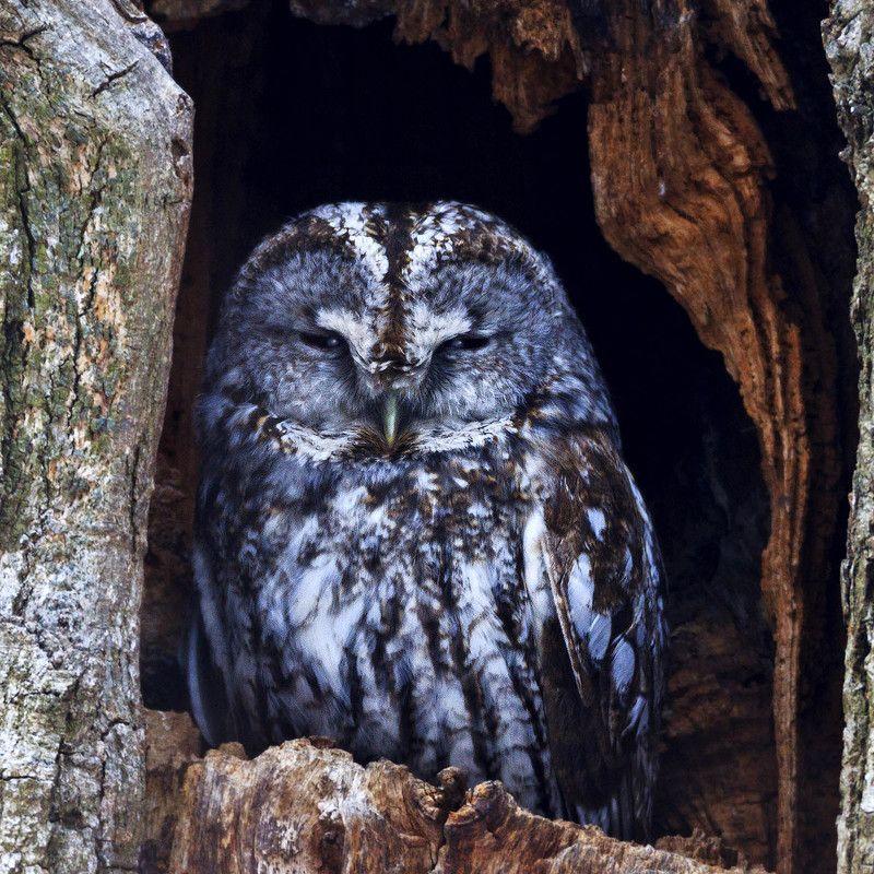 серая неясыть, tawny owl Ночной Лордphoto preview