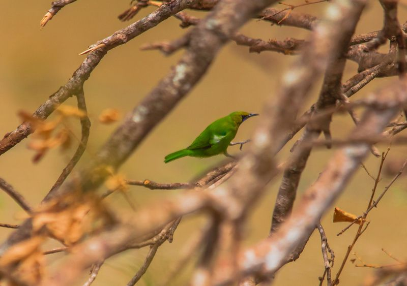 Golden fronted leafbird photo preview