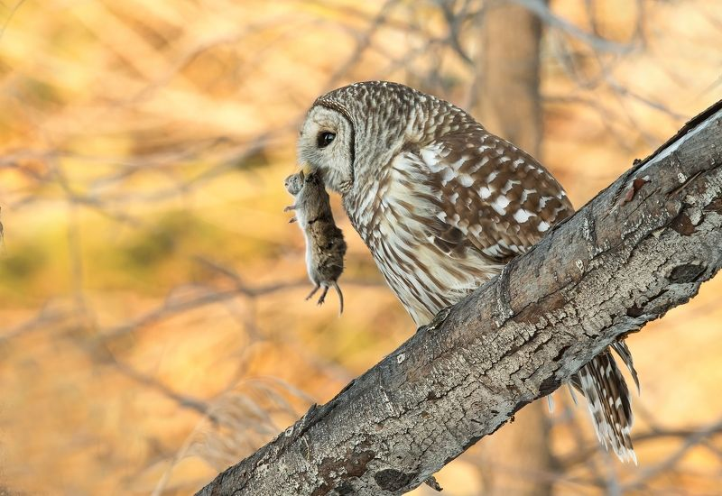 chouette rayée / barred owl / strix varia Chouette Rayée / Barred Owl / Strix variaphoto preview