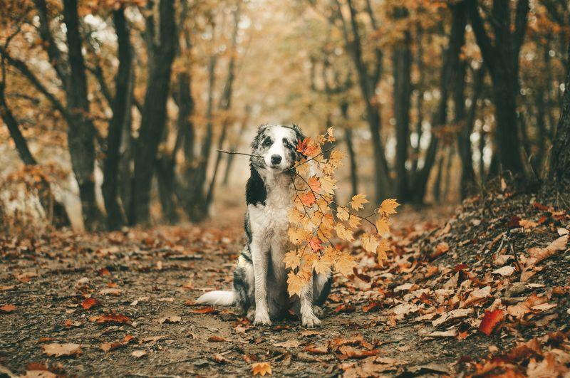 бордер колли, осень, клён, природа, собака, животные, лес Кленовая веточкаphoto preview