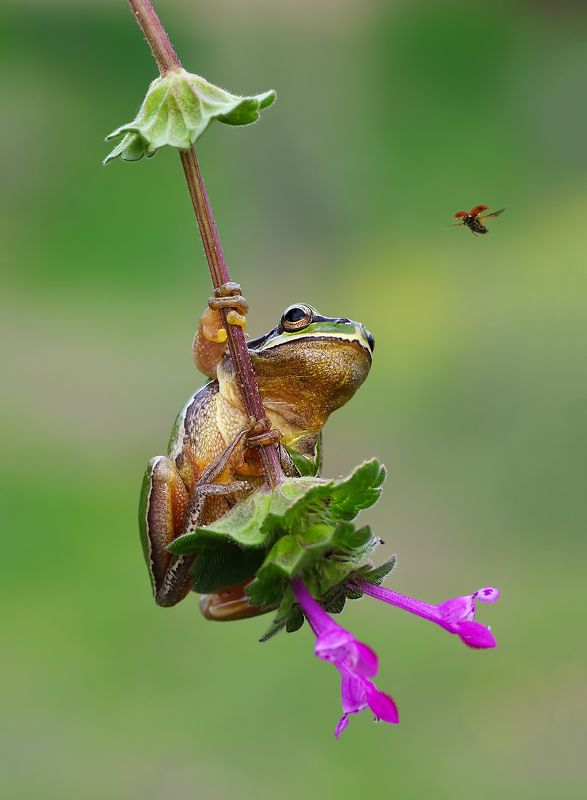 animal,nature, macro, tree frog, ladybug, flower, follow-up, hunting huntingphoto preview