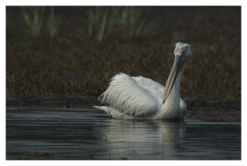 pelican Pelicanphoto preview