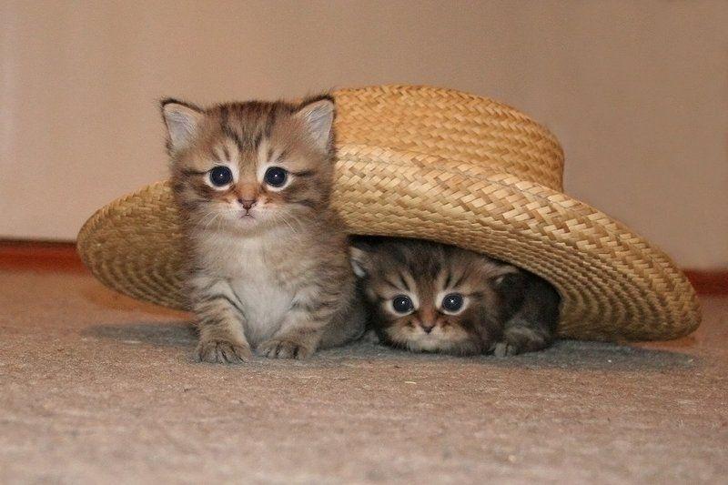 шляпа , кошка Живая шляпаphoto preview