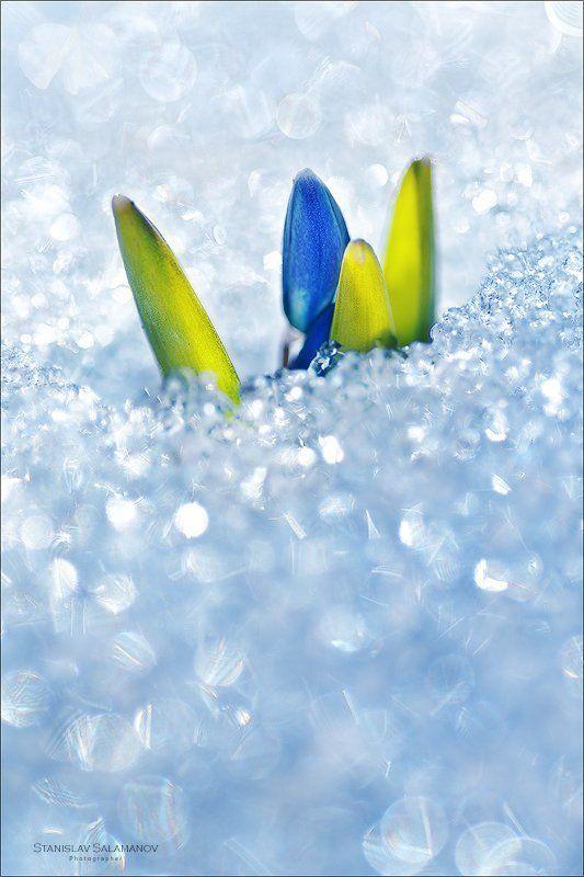 первоцвет, весна, блеск, пролеска, снег, макро, март Пробивая бриллиантовую россыпьphoto preview