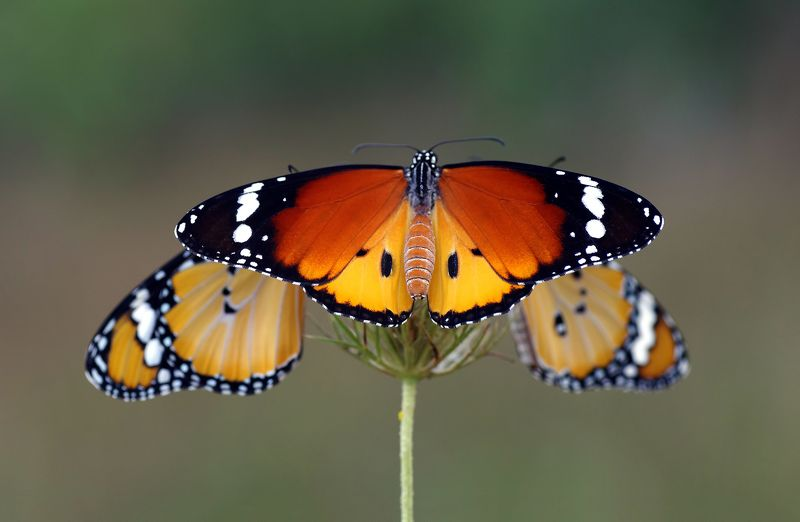 animal, nature, macro, butterfly, african queen, african monarch-plain,three. threephoto preview