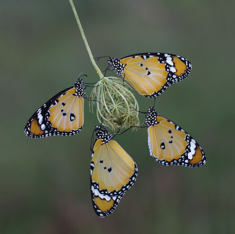 animal,nature,macro,butterfly,four of a kind,african queen,african monarch-plain four of a kindphoto preview