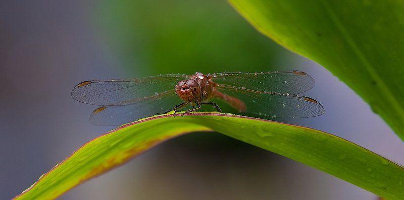 стрекоза, дождь, макро Пережидая дождьphoto preview