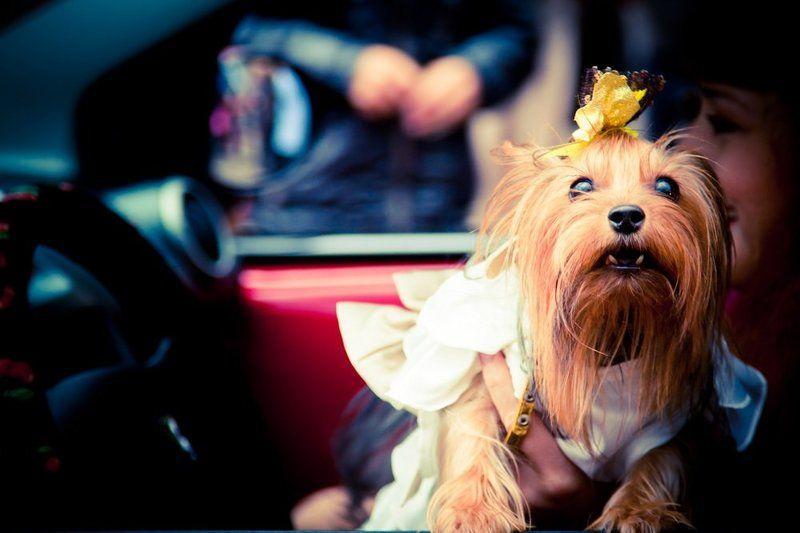 собака, машина, девушка Моськаphoto preview