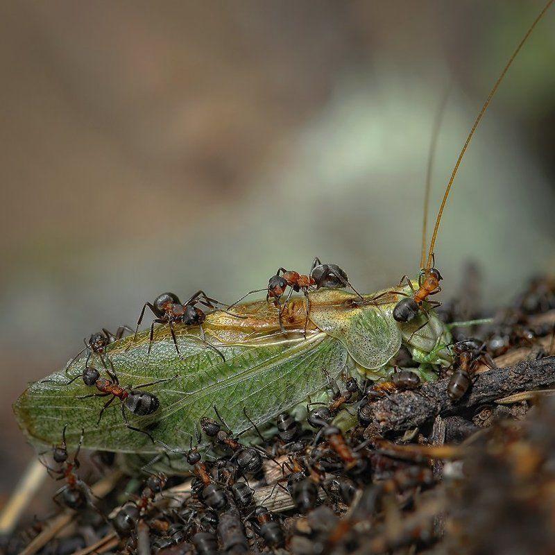 макро, муравей, кузнечик, романов сезон заготовокphoto preview