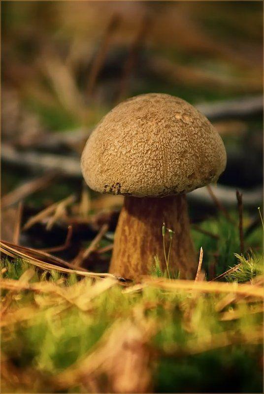 грибы, гриб, лес, моховик Моховичокphoto preview