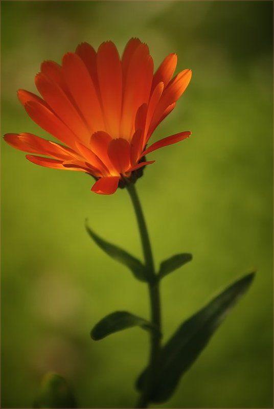 оранжевый, цветок Orangephoto preview