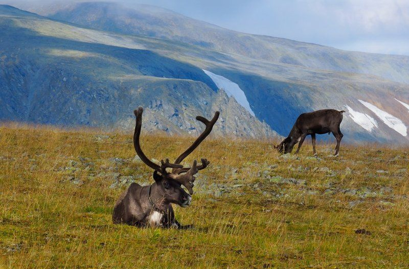 олень,живность,север,горы,урал,deer,livestock,north,mountains,the urals, *-*-*photo preview