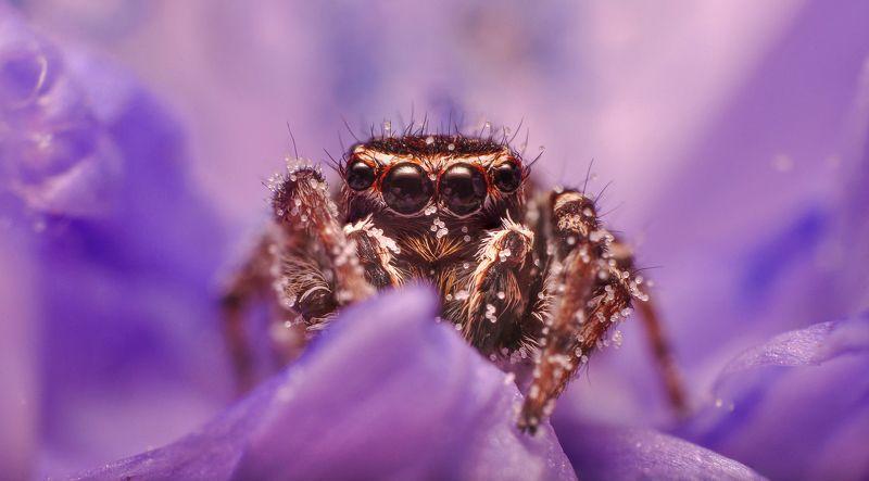 природа, паук, макро, глаза, паук-скакун, портрет, животные, лето, хищник, nikon, взгляд Во все глазаphoto preview