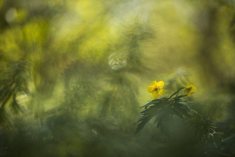 ветреница, свет, краски, цветок, цвет, весна, позитив, воронеж Краски весны...photo preview