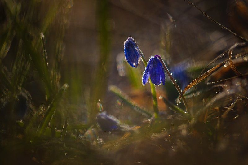 пролески, весна Последние заморозкиphoto preview