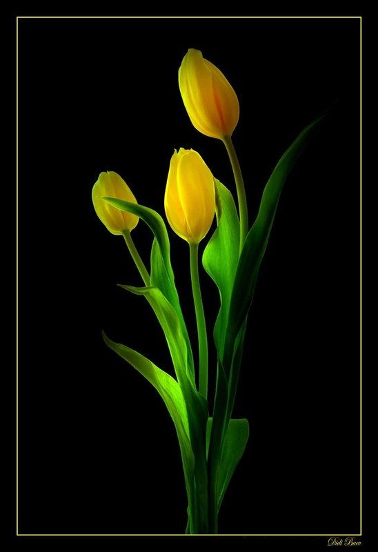 art, black, color, colors, color image, fine art, flower, flowers, green, image, light, macro, nature, natural light, photography, tulip, tulips, yellow, Light in the Darkphoto preview