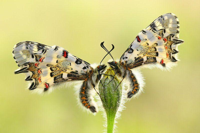 #butterfly#eastern#festoon#nature#cyprus \