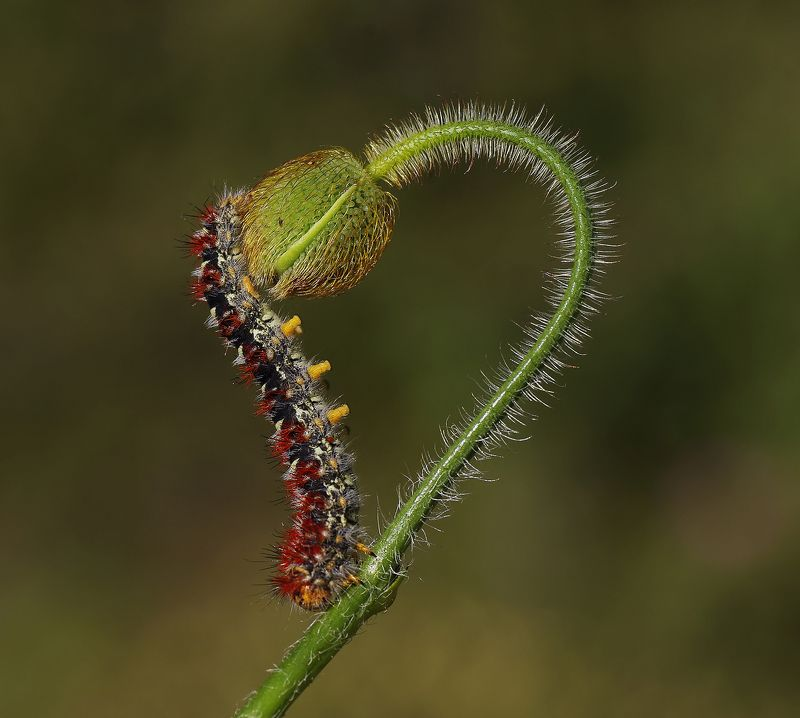 animal,nature,macro,caterpillar,flower,love,graphics,butterfly, Lovephoto preview