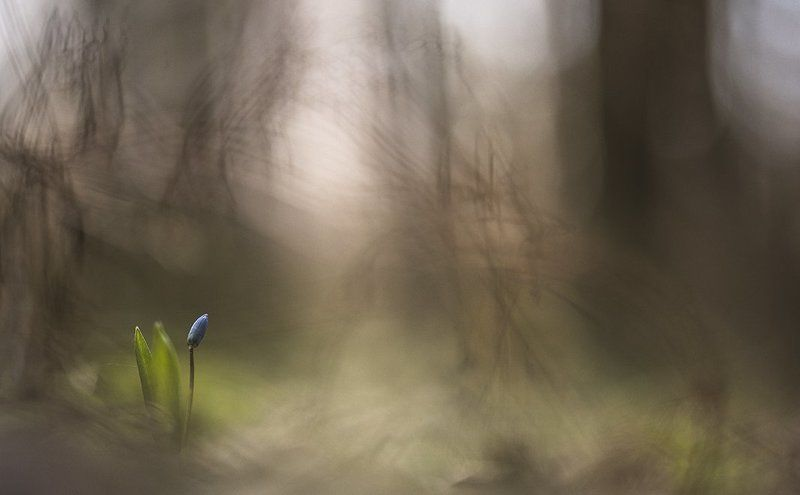 пролеска, свет, цвет, весна, боке, март, лес, воронеж, геннадий мещеряков В большом лесу...photo preview