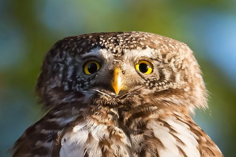 Pygmy owl, pose, finland, 65g Pygmy owl pose фото превью