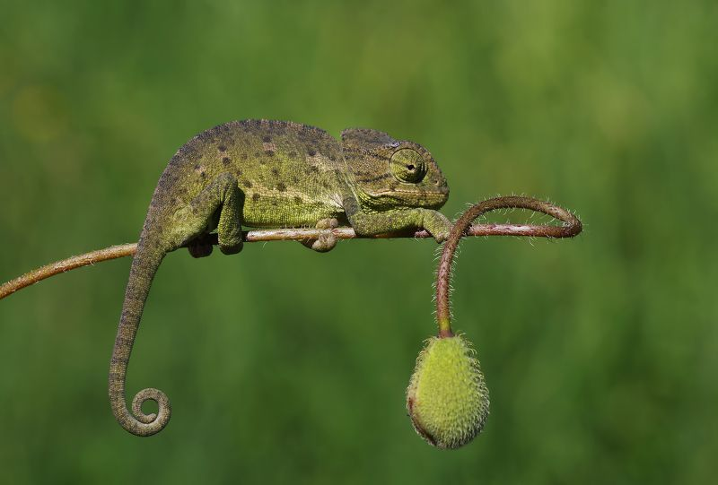 animal,nature,macro,chameleon,signature,curves,flower signaturephoto preview