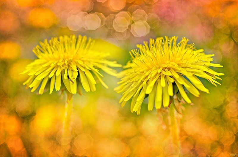 close-up, color, colors, color image, dandelion, flower, fine-art, flowers, image, impressionism, macro, nature, photography, taraxacum, yellow, Impressionist Dandelionsphoto preview