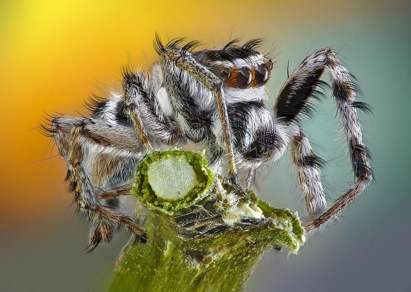 spider,jumping,abaetetuba,pará,brazil,amazon,macro,nature,natureza,vida,life One secondphoto preview