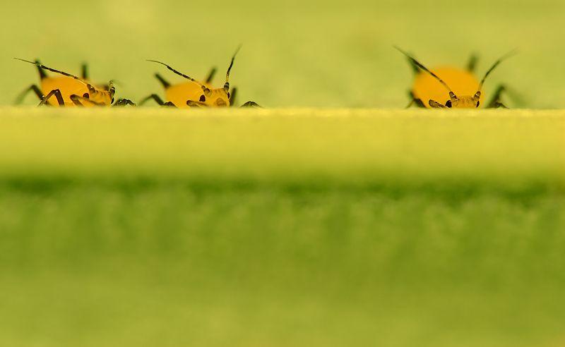 тля желтая лист наблюдатели насекомые Наблюдателиphoto preview