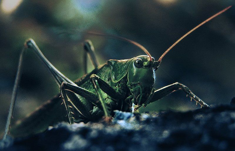 wake,macro,sony,style, Tettigonia Viridissima ©photo preview