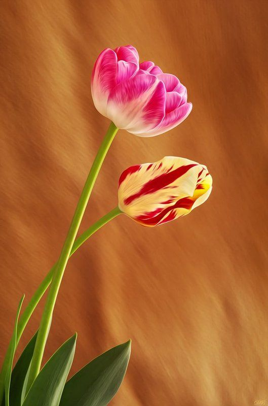 art, beauty, close-up, color, colors, color image, elegance, flower, flowers, green, macro, nature, pink, plant, plants, photography, red, tulipa, tulip, tulips, yellow, Apotheosis of Springphoto preview