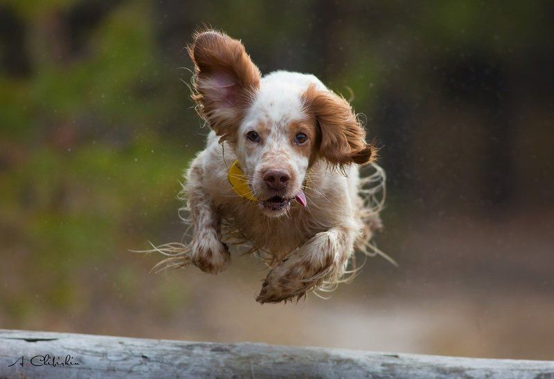 английский сеттер, в движении, в полете, портрет, саров, фотограф, животных, собака Весна... и опять тянет в небо...photo preview