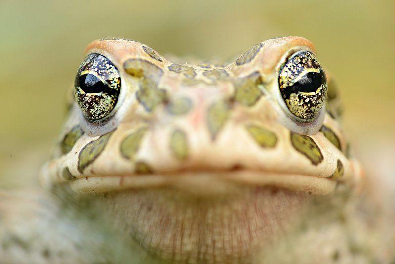 жаба зеленая камуфляж портрет текстура земля раскраска окрас пятнистая Зеленая жабаphoto preview