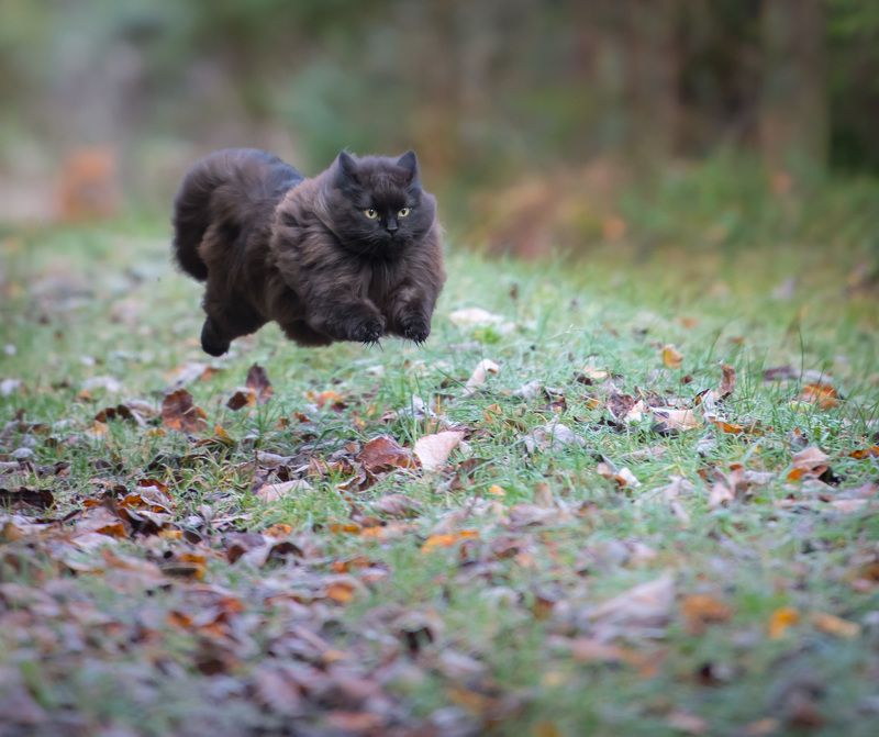 Cat, running, puffy My cat Mörkö running :)photo preview