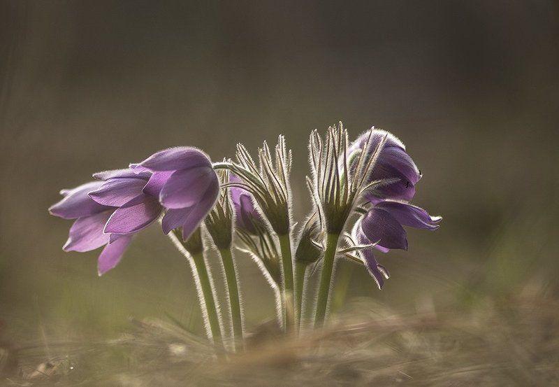 простлел, цветы, свет, цвет, сон трава, лес, весна, апрель, краски. воронеж В апрель безумный...photo preview