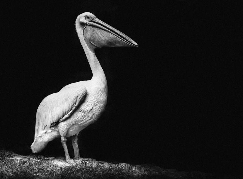 ПЕЛИКАН, ПТИЦА, ПОРТРЕТ, ЧЕРНО-БЕЛОЕ,  Black and White Portraitphoto preview