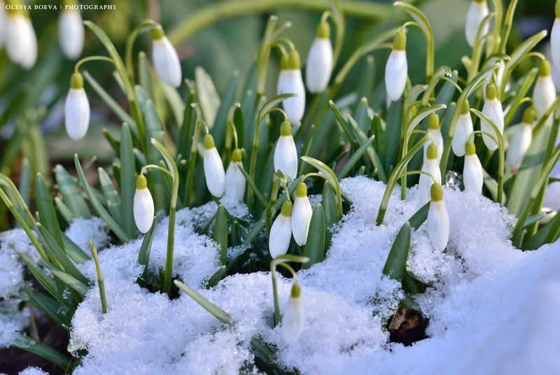 подснежники, весна, цветы, снег, snowdrops, spring, flowers, snow Подснежникиphoto preview
