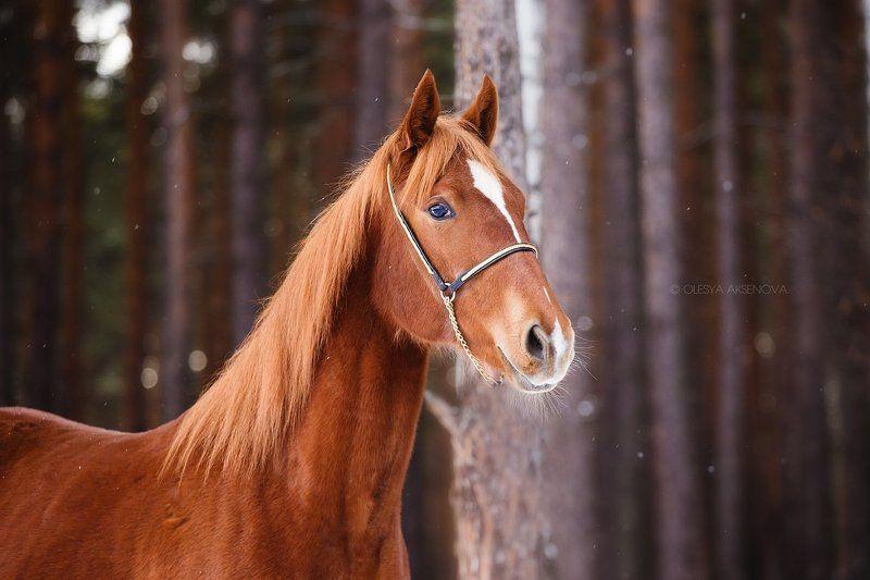 лошадь, зима Зарницаphoto preview