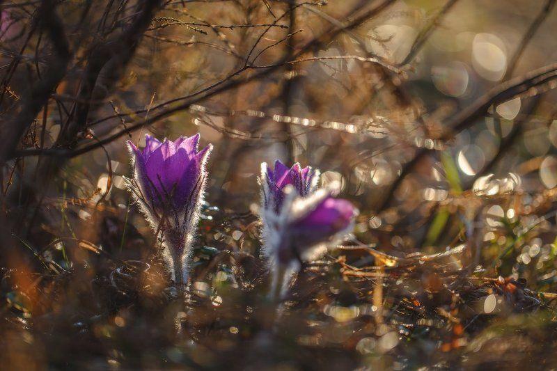 сон-трава,первоцвет,прострел,весна,макро Весна..photo preview