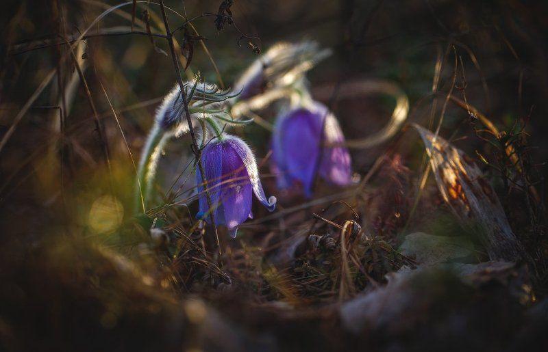 сон-трава,первоцвет,прострел,весна,макро Весенний звон..photo preview