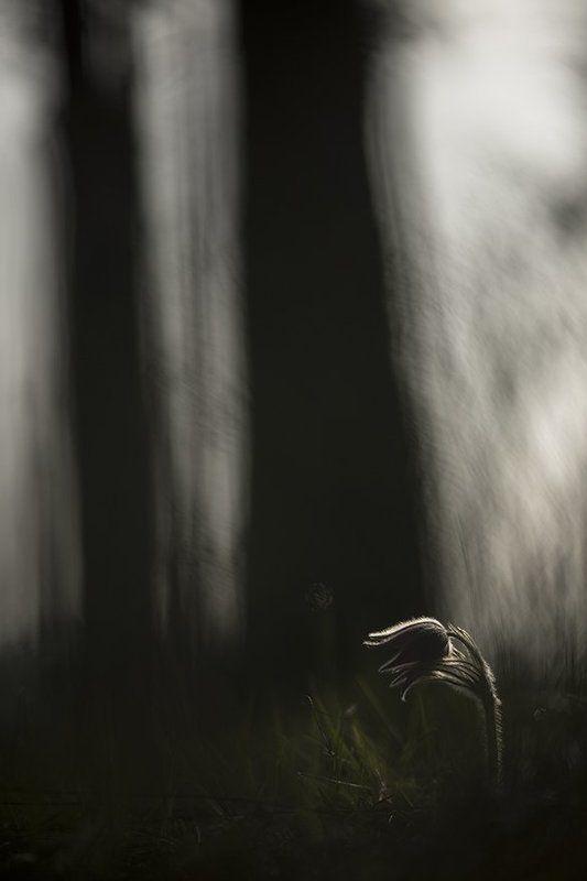 простлел, цветы, свет, цвет, сон трава, лес, весна, апрель, краски. маклок, воронеж Меж вековых...photo preview