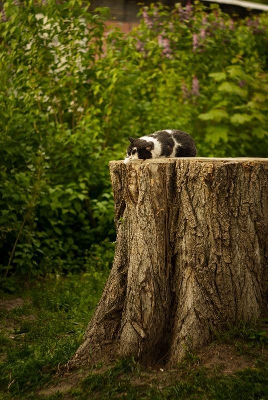 гелиос,никон д200,кот,пень,сказка как в сказке,да не совсемphoto preview